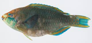 To NMNH Extant Collection (Scarus prasiognathos USNM 431971 lateral view)