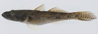 To NMNH Extant Collection (Glossogobius USNM 431975 lateral view)