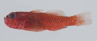 To NMNH Extant Collection (Trimma fangi USNM 432583 lateral view)