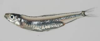 To NMNH Extant Collection (Spratelloides gracilis USNM 432584 lateral view)