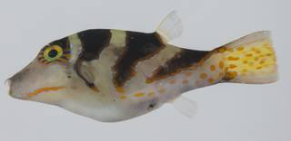 To NMNH Extant Collection (Canthigaster axiologa USNM 432589 lateral view)