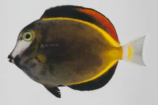 To NMNH Extant Collection (Acanthurus japonicus USNM 432602 lateral view)