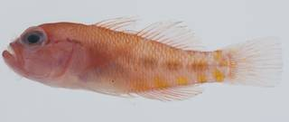 To NMNH Extant Collection (Trimma yanoi USNM 432611 lateral view)