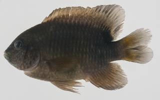 To NMNH Extant Collection (Stegastes punctatus USNM 432627 lateral view)