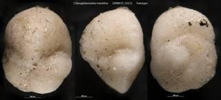 To NMNH Paleobiology Collection (Cribrogloborotalia marielina USNM CC 23312 holotype)