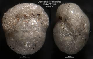To NMNH Paleobiology Collection (Cribrostomoides trinitatensis USNM CC 9728 holotype)