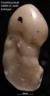To NMNH Paleobiology Collection (Cristellaria beali USNM CC 5640 holotype 1)