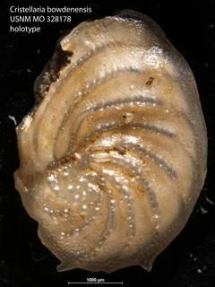 To NMNH Paleobiology Collection (Cristellaria bowdenensis USNM MO 328178 holotype)