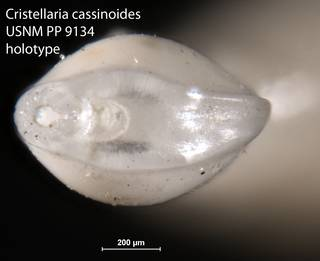 To NMNH Paleobiology Collection (Cristellaria cassinoides USNM PP 9134 holotype 2)