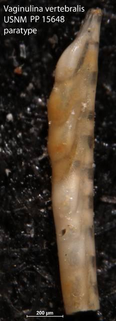 To NMNH Paleobiology Collection (Vaginulina vertebralis USNM PP 15648 paratype)