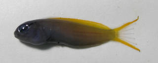 To NMNH Extant Collection (Meiacanthus atrodorsalis USNM 431937 lateral view)