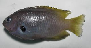 To NMNH Extant Collection (Pomacentrus nigromarginatus USNM 431943 lateral view)