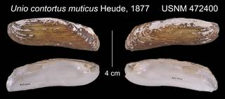 To NMNH Extant Collection (Unio contortus muticus, var. a. Heude, 1877     USNM 472400)