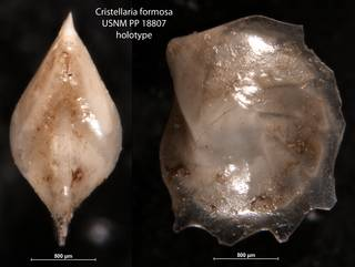 To NMNH Paleobiology Collection (Cristellaria formosa USNM PP 18807 holotype)