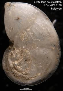 To NMNH Paleobiology Collection (Cristellaria paucicostata USNM PP 9138 holotype)