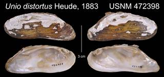 To NMNH Extant Collection (Unio distortus Heude, 1883     USNM 472398)