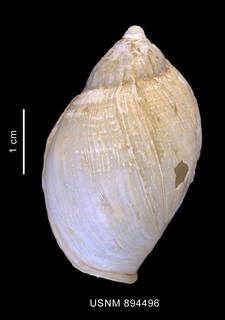 To NMNH Extant Collection (Harpovoluta charcoti (Lamy, 1910) shell dorsal view)