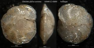 To NMNH Paleobiology Collection (Cibicides plano-convexa USNM CC 45895 holotype)