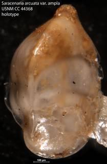 To NMNH Paleobiology Collection (Saracenaria arcuata var. ampla USNM CC 44368 holotype)