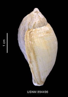 To NMNH Extant Collection (Harpovoluta charcoti (Lamy, 1910) shell lateral view)