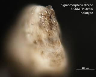 To NMNH Paleobiology Collection (Sigmomorphina aliceae USNM PP 20956 holotype 2)
