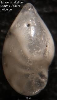 To NMNH Paleobiology Collection (Saracenaria kellumi USNM CC 64171 holotype)
