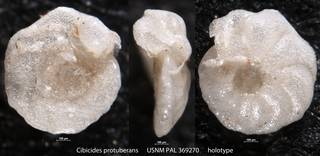 To NMNH Paleobiology Collection (Cibicides protuberans USNM PAL 369270 holotype)