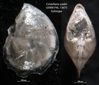 To NMNH Paleobiology Collection (Cristellaria wadei USNM PAL 73675 holotype)