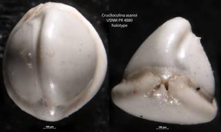 To NMNH Paleobiology Collection (Cruciloculina asanoi USNM PR 4880 holotype)