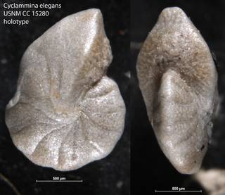 To NMNH Paleobiology Collection (Cyclammina elegans USNM CC 15280 holotype)