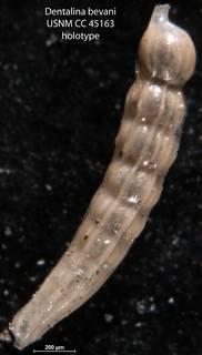 To NMNH Paleobiology Collection (Dentalina bevani USNM CC 45163 holotype)
