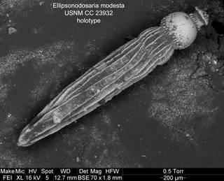 To NMNH Paleobiology Collection (Ellipsonodosaria modesta USNM CC 23932 holotype)