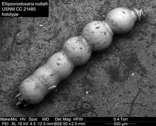 To NMNH Paleobiology Collection (Ellipsonodosaria nuttalli USNM CC 21485 holotype)