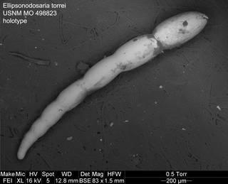 To NMNH Paleobiology Collection (Ellipsonodosaria torrei USNM MO 498823 holotype)