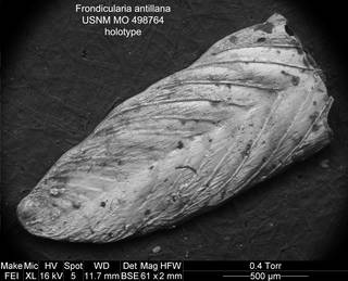 To NMNH Paleobiology Collection (Frondicularia antillana USNM MO 498764 holotype)