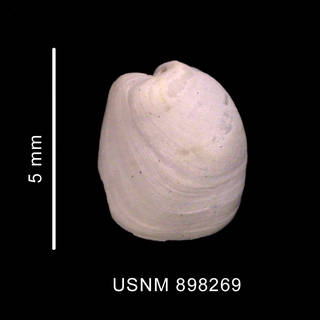 To NMNH Extant Collection (Philine alata Thiele, 1912 shell dorsal view)