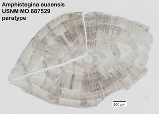 To NMNH Paleobiology Collection (Amphistegina euaensis USNM MO 687529 paratype)
