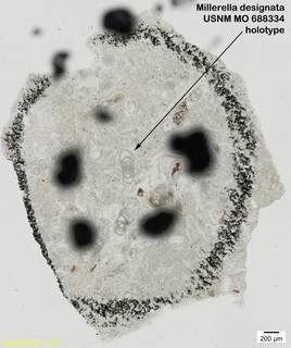 To NMNH Paleobiology Collection (Millerella designata USNM MO 688334 holotype)