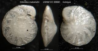 To NMNH Paleobiology Collection (Cibicides mabahethi USNM CC 55690 holotype)
