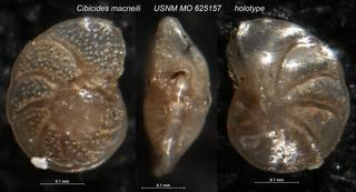 To NMNH Paleobiology Collection (Cibicides macneili USNM MO 625157 holotype)