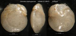 To NMNH Paleobiology Collection (Cibicides madrugaensis USNM CC 58472 holotype)