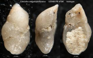 To NMNH Paleobiology Collection (Cibicides megaloperforatus USNM PR 4196 holotype)