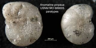 To NMNH Paleobiology Collection (Anomalina piripaua USNM MO 689005 paratypes)