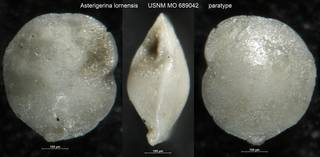 To NMNH Paleobiology Collection (Asterigerina lornensis USNM MO 689042 paratype)