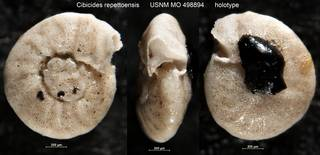 To NMNH Paleobiology Collection (Cibicides repettoensis USNM MO 498894 holotype)