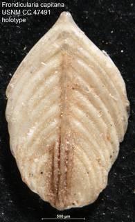 To NMNH Paleobiology Collection (Frondicularia capitana USNM CC 47491 holotype)