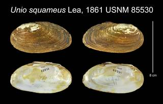 To NMNH Extant Collection (Unio squameus Lea, 1861    USNM 85530)