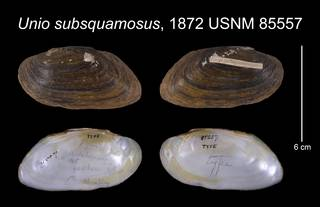 To NMNH Extant Collection (Unio subsquamosus Lea, 1872     USNM 85557)