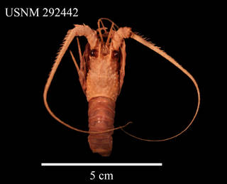 To NMNH Extant Collection (IZ CRT 292442 Dorsal View)