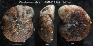 To NMNH Paleobiology Collection (Cibicides venezuelana USNM CC 21693 holotype)